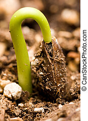 sprouting, (almost, done), persimmon