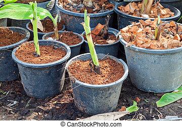 Sprouting banana