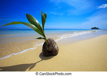 sprouting coconut washes up on the shore of a tropical beach...