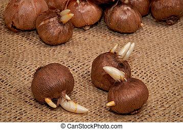 Sprouting Crocus Bulbs - Sprouting crocus bulbs on burlap...