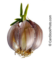 Sprouting garlic clove - Garlic clove with green sprout on...
