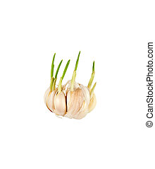 Sprouting garlic clove isolated on a white background