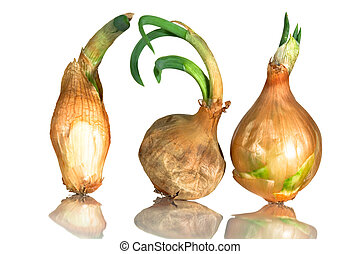 Sprouting onions - Three old onions sprouting on a...