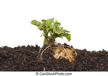 Sprouting potato in soil against a white background