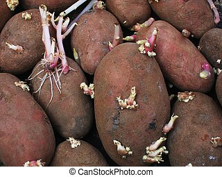 sprouting potatoes.