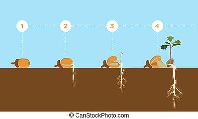 sprouting, spruit, zaad, groei, eikeltjes, stadia