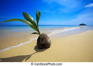 sprouting, strand, tropische , op, oever, cocosnoot, was, ...