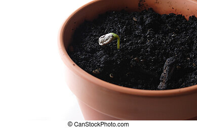 Sprouting Sunflower - Sunlower Seed Sproting in pot