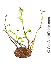 Sprouting Sweet Potato Plant Ready for Planting - sprouting...