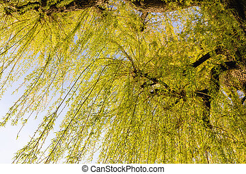 Sprouting willow tree with green leaves in spring season