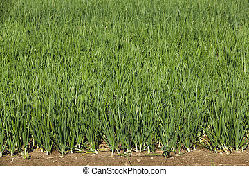 sprouts green onions