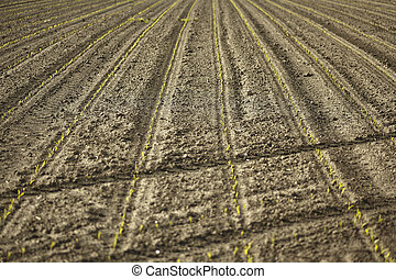 Sprouts in the field of corn cultivation