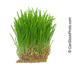 Sprouts of a young green grass. Isolated on white background