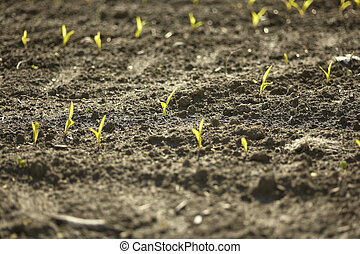 Sprouts of corn in agriculture #3