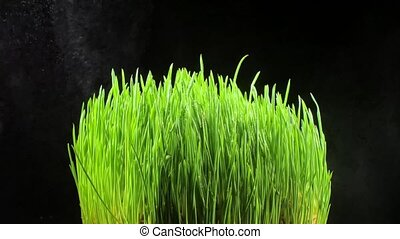 Sprouts of grass closeup. Flora. Agriculture - Sprouts of...