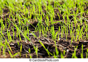 sprouts of wheat or other cereals on agricultural fields during their growth and development, obtaining high yields on agricultural fields of grain for bread in Eastern Europe, closeup