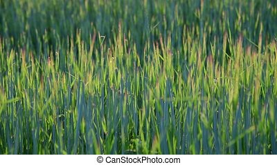 Sprouts of young wheat at sunset - Sprouts of young wheat at...