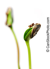 Sprouts - Two green sunflower plant sprouts isolated on...