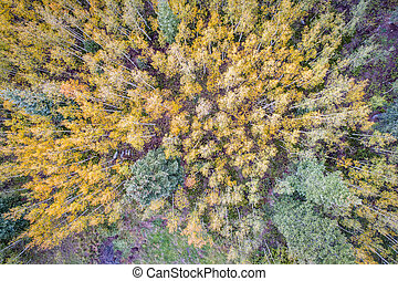 spruce and aspen trees from above - spruce and aspen in fall...