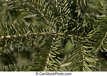spruce background - an upclose picture of a spruce tree