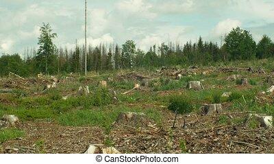 Spruce bark beetle pest Ips typographus, spruce forests...