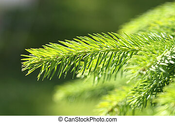 Spruce branch close up