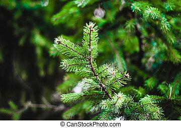 Spruce branch, illuminated