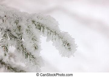 spruce branch in hoarfrost