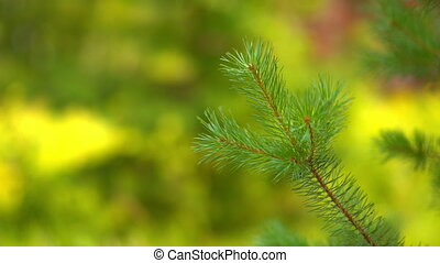 spruce branch on a background of green