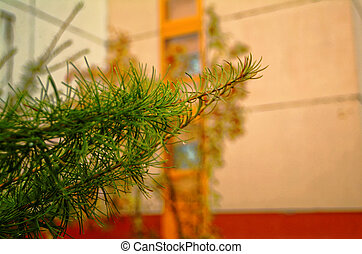 spruce branch on a background of the walls of the house