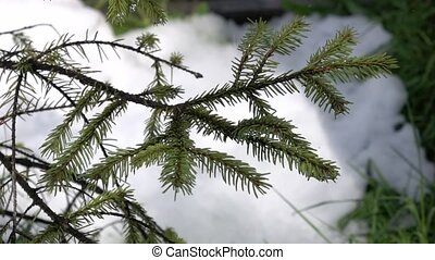 Spruce branch on which drips spring drops in slow motion