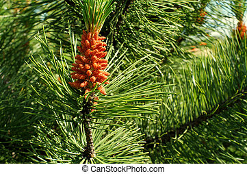 Spruce branch with a cone in the sun