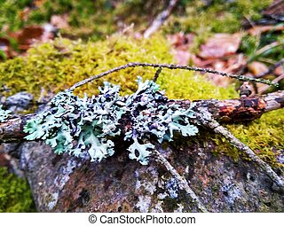spruce branch with blue lichen on green moss close up