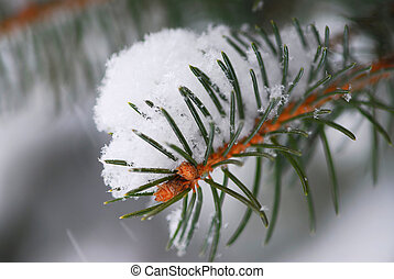 Branch of a winter spruce tree covered with fluffy snow