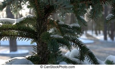 Spruce branches close up. Evergreen tree, winter.
