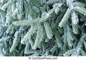 Spruce branches covered with frost. Christmas tree with hoarfrost.