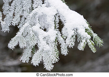 Spruce branches covered with frost.