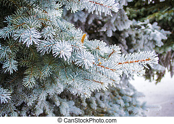 spruce branches in hoarfrost