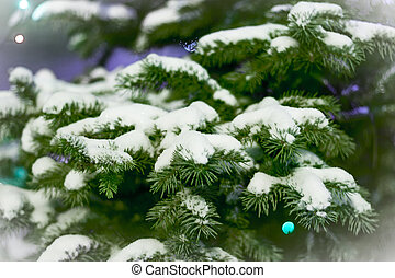 Spruce branches in the snow. card