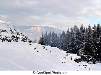 Spruce branches in the snow, winter forest