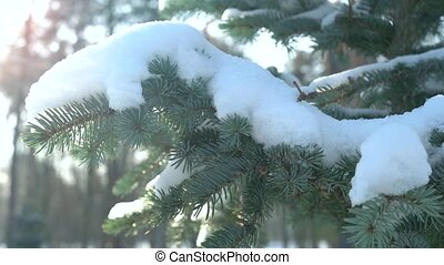 Spruce branches in winter. Evergreen tree, snow.