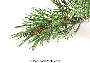 spruce branches