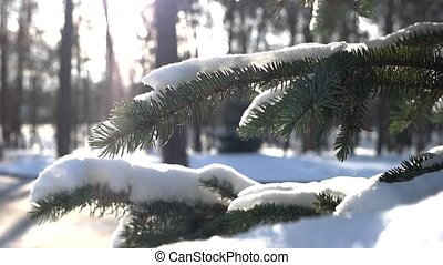 Spruce branches, winter. Coniferous tree close up. Forest in...