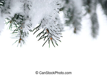 Spruce branches with snow - Branches of a winter spruce tree...