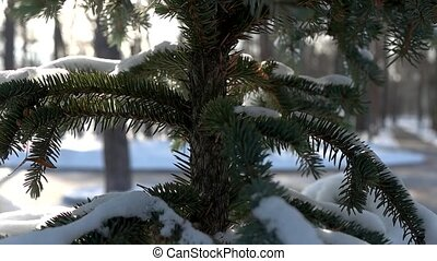 Spruce close up, winter. Coniferous tree and snow.