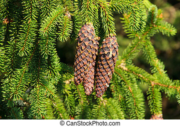 Spruce cone in forest