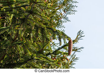 Spruce cones hanging on a branch