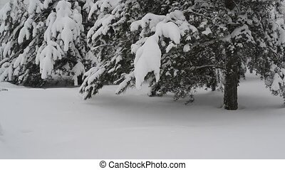 spruce covered with snow in forest.
