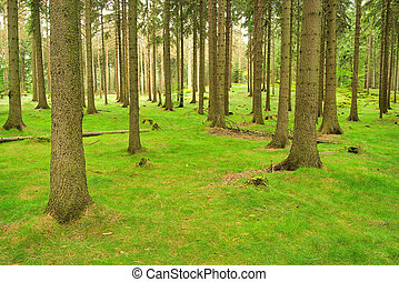 spruce forest 04
