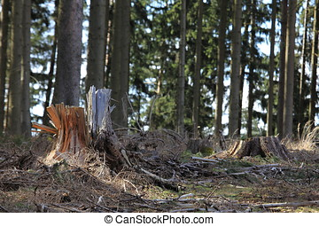 Spruce forest after the storm